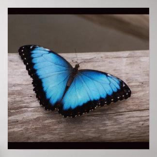 Mariposa azul de Morpho Póster