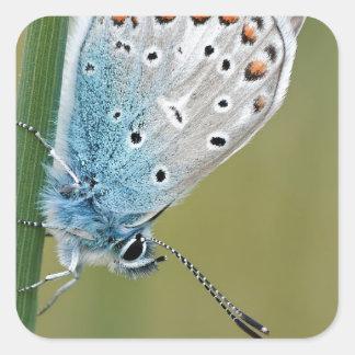 Mariposa azul en la planta pegatina cuadrada