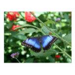 Mariposa azul grande 2 postal