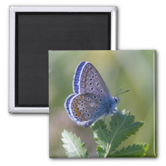 mariposa azul imán cuadrado
