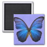 Mariposa azul magnífica de Morpho Iman De Frigorífico
