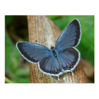 Mariposa azul postal