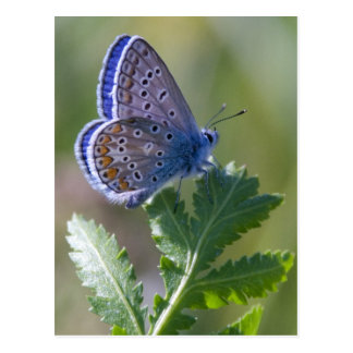 mariposa azul tarjeta postal