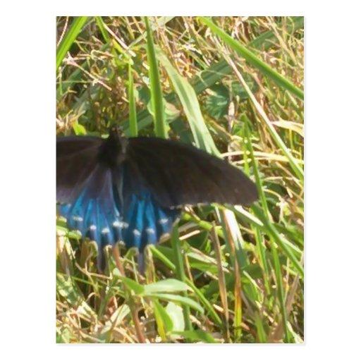 mariposa azul y negra postal