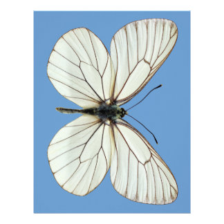Mariposa blanca Negro-veteada aislada Membrete A Diseño