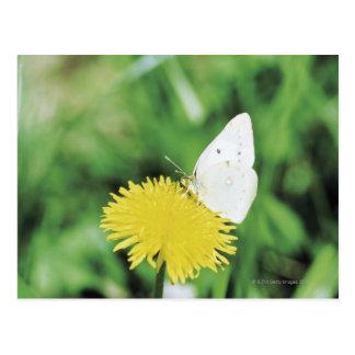 Mariposa blanca que alimenta en un diente de león postal