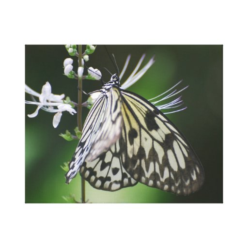 Mariposa blanca y negra de Polinating Impresiones En Lienzo Estiradas