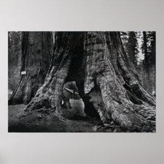 Mariposa California Big Tree Print
