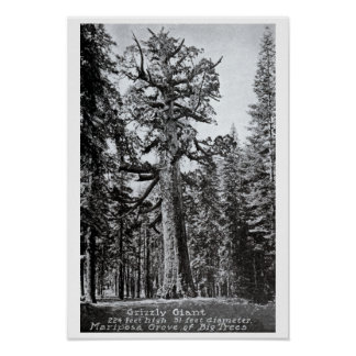 Mariposa California Grizzly Giant Posters