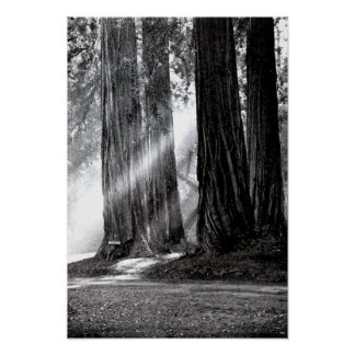 Mariposa California Redwoods Sunlight Poster