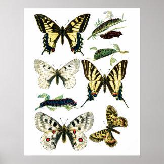 Mariposa colorida, Caterpillar y polilla de Póster