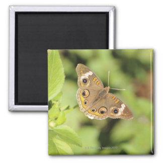 Mariposa común del castaño de Indias, Junonia coen Imán Cuadrado