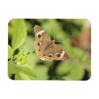Mariposa común del castaño de Indias, Junonia coen Rectangle Magnet
