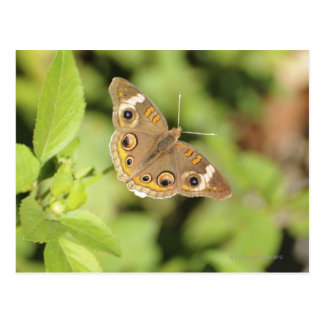 Mariposa común del castaño de Indias, Junonia coen Tarjeta Postal