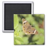 Mariposa común del castaño de Indias, Junonia Imán Cuadrado