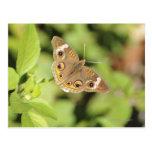 Mariposa común del castaño de Indias, Junonia Tarjetas Postales
