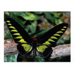 Mariposa de Birdwing, brookiana de Trogonoptera, M Tarjeta Postal