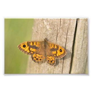 Mariposa de Brown de la pared Cojinete