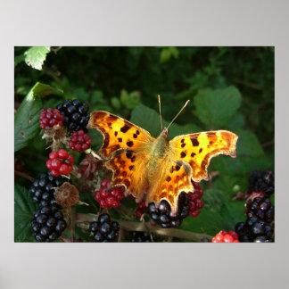mariposa de coma en las zarzamoras póster