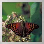 Mariposa de emperador rojiza en Milkweed común Impresiones