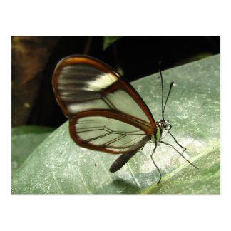 Mariposa de Glasswinged Postales