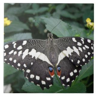 Mariposa de la cal y teja de las flores