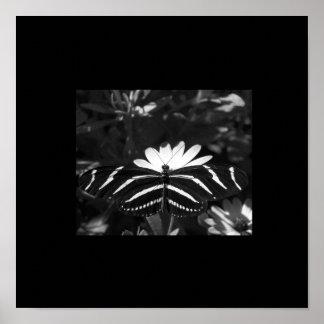 Mariposa de la cebra de B W en negro Posters