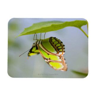 Mariposa de la malaquita en la hoja imán foto rectangular