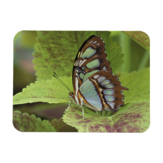 Mariposa de la malaquita (stelenes de Metamorpha) Imanes