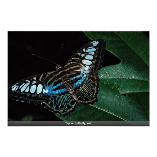 Mariposa de las podadoras, Asia Póster
