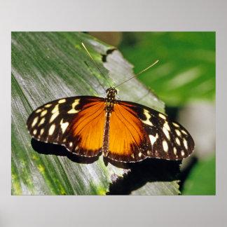 Mariposa de Longwing del tigre Posters