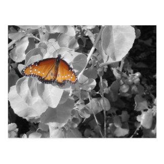 Mariposa de monarca anaranjada contra blanco y neg postal