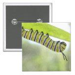 Mariposa de monarca Caterpillar que explora un Mil Pin