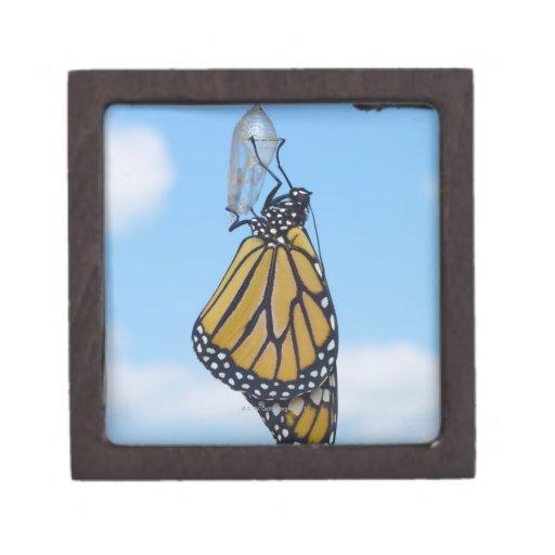 Mariposa de monarca, con la crisálida caja de regalo de calidad