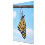 Mariposa de monarca, con la crisálida lona estirada galerias