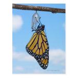 Mariposa de monarca, con la crisálida postales