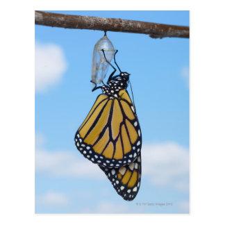 Mariposa de monarca, con la crisálida tarjetas postales
