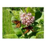Mariposa de monarca de acoplamiento en la foto del postal