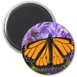 Mariposa de monarca del imán y asteres púrpuras