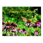 Mariposa de monarca en coneflower púrpura de la postal