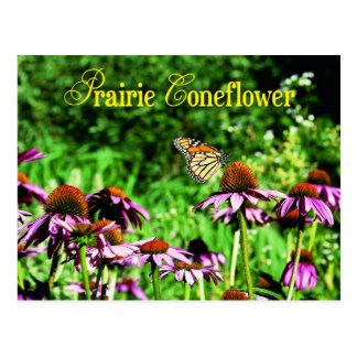 Mariposa de monarca en coneflower púrpura de la pr postales