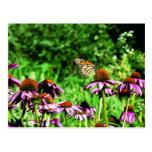 Mariposa de monarca en coneflower púrpura de la pr tarjetas postales