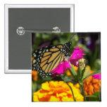 Mariposa de monarca en el maravilla-botón rosado pins