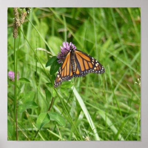 Mariposa de monarca en el trébol púrpura posters