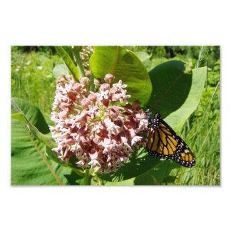 Mariposa de monarca en la foto del Milkweed Cojinete