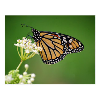 Mariposa de monarca en la postal blanca del Milkwe