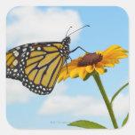 Mariposa de monarca en una Susan observada negro Pegatina Cuadrada