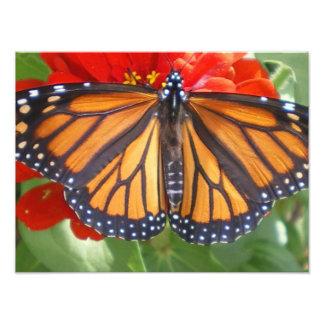 Mariposa de monarca en Zinnia Fotografías