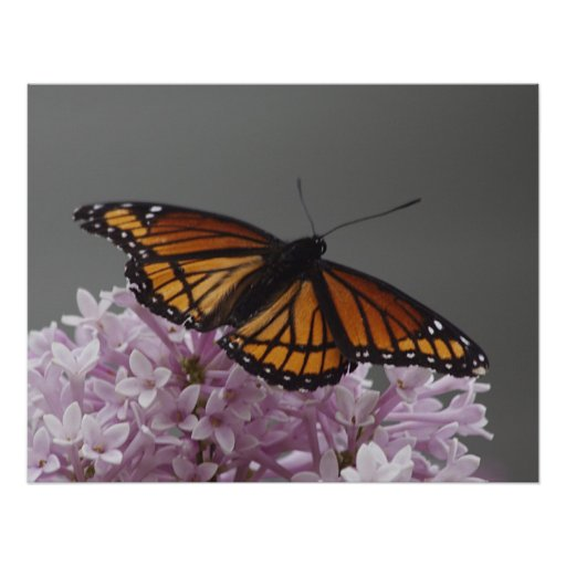 Mariposa de monarca poster