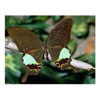 Mariposa de Papilionoideae, Malasia Tarjetas Postales